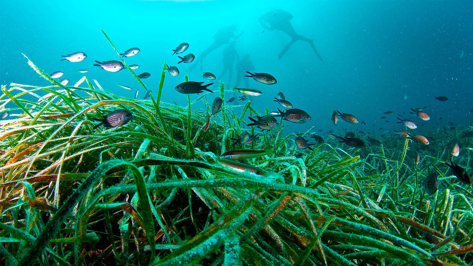 Imagen  Posidonia, the natural treasure of the Pitïusas Islands