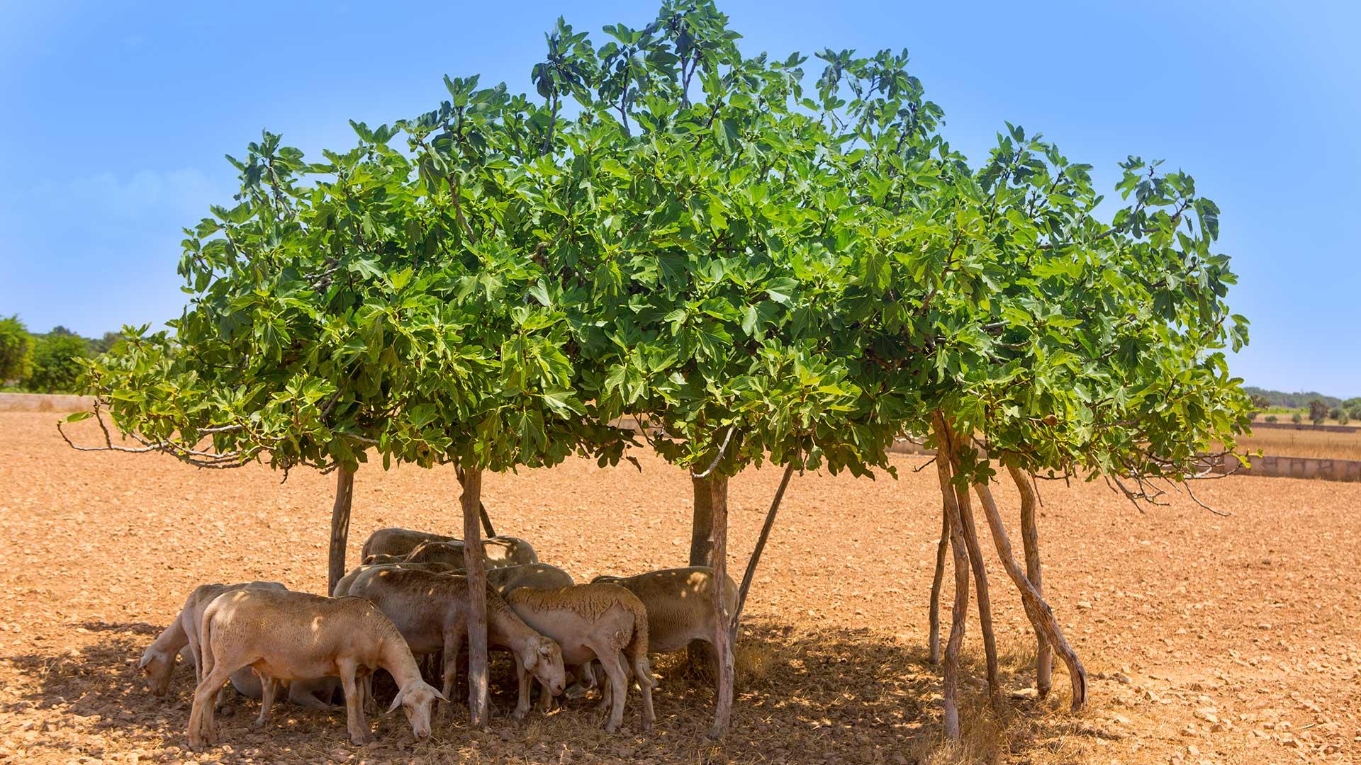Imagen  Feigenbäume mit Stützpfählen (Figueres Estalonades)